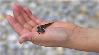 Triton amphibious animal on the hand of the kid