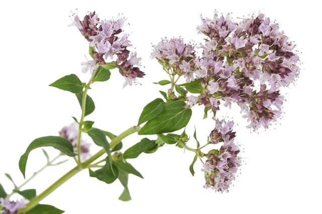 Marjoram medicinal flower