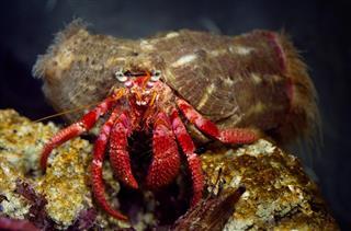 Pagurus Bernhardus Hermit Crab Symbiotic with Actinaria