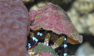 Hermit Crab hiding