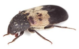 Larder beetle (Dermestes lardarius)