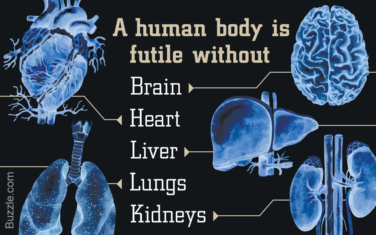 Endocrine System Organs