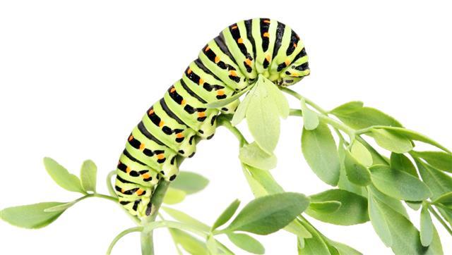 Caterpillar Crawling