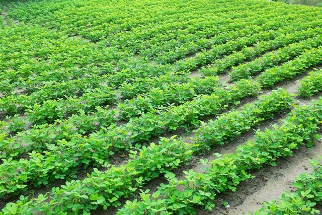 Green peanut field growth