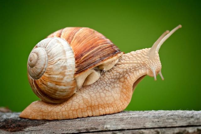 Roman Snail on piece of wood
