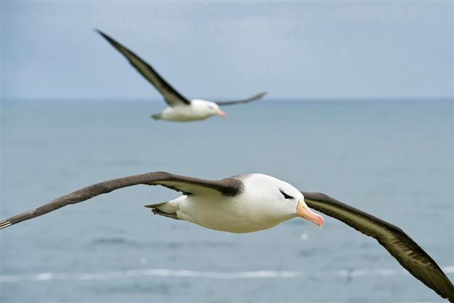 albatross flying over the sea