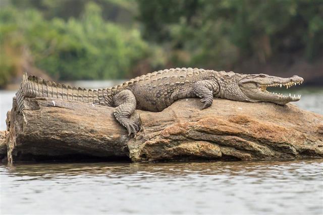 Crocodile On Rock
