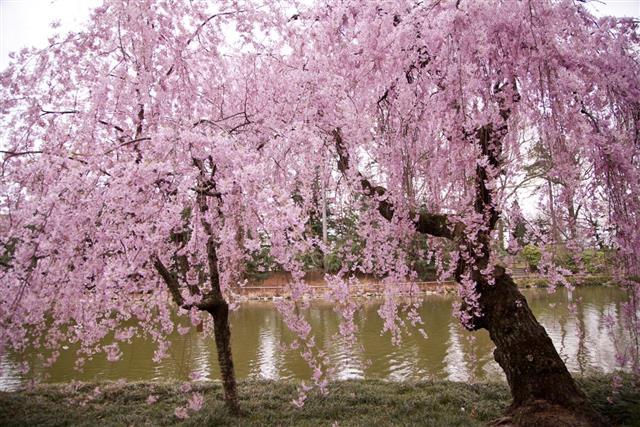 Cherry Blossom, Woodland