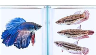 Blue male and three female siamese fish