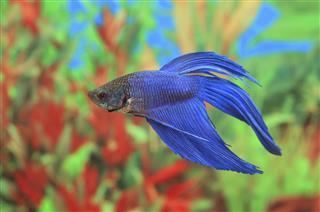 Betta splendens of blue color