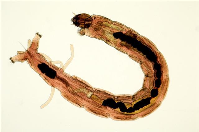 Bloodworm fish food