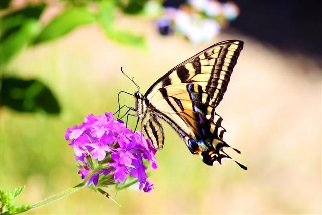 Swallowtail butterfly Papilio machaon feeding on flower