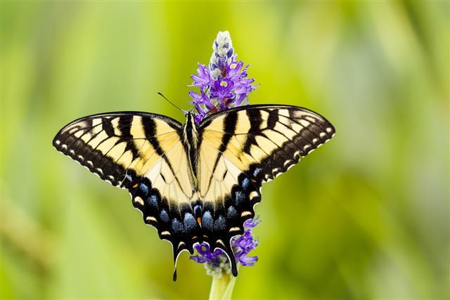 Eastern Tiger Swallowtail Butterfly on Pickerelweed Flower