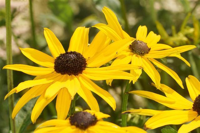 Prairie daisy