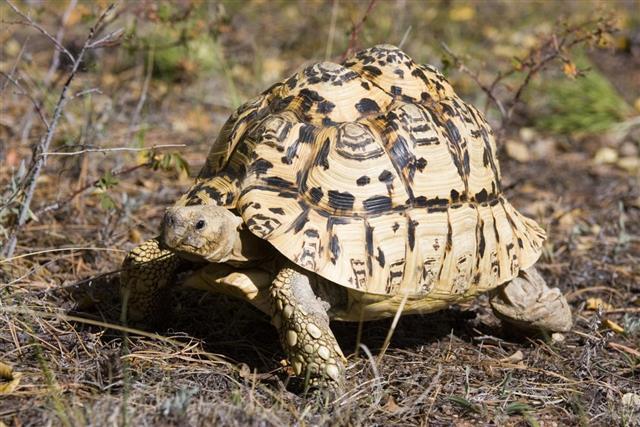 African Sulcata Tortoise