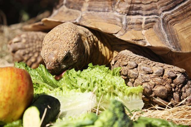 African Spurred Tortoise Centrochelys Sulcata???