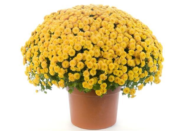 Potted Yellow Chrysanthemum