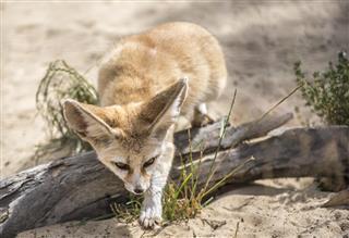 Hunting Fennec fox