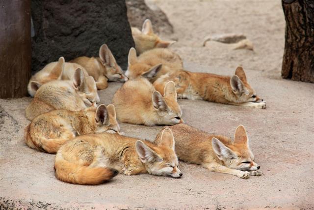 Sleeping Fennec Foxes