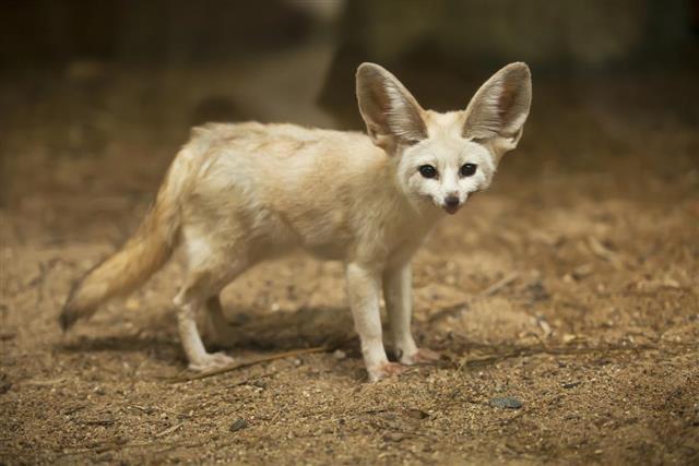 Fennec Fox at outdoor