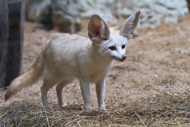 Cute Fennec Fox