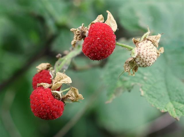 Thimbleberries - Rubus parviflorus???