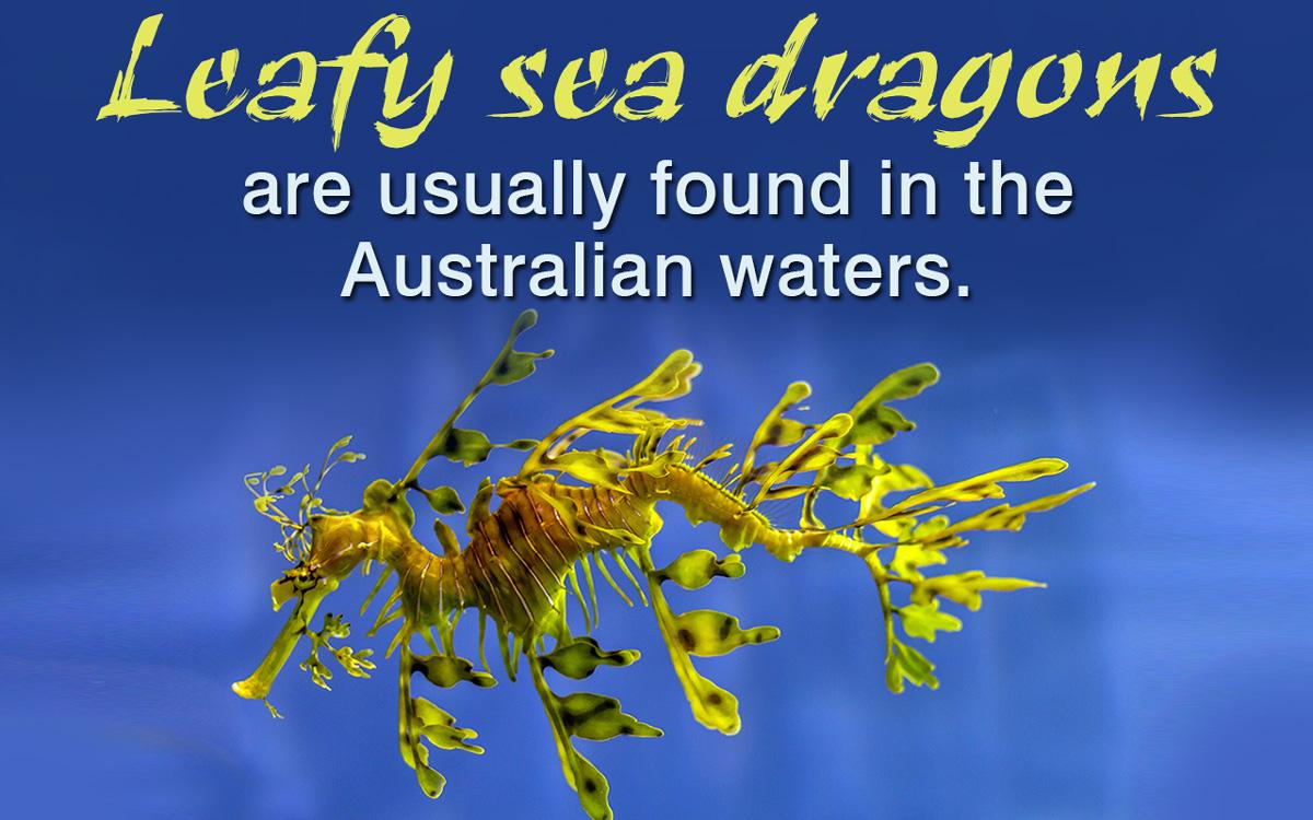 Leafy Sea Dragon Facts