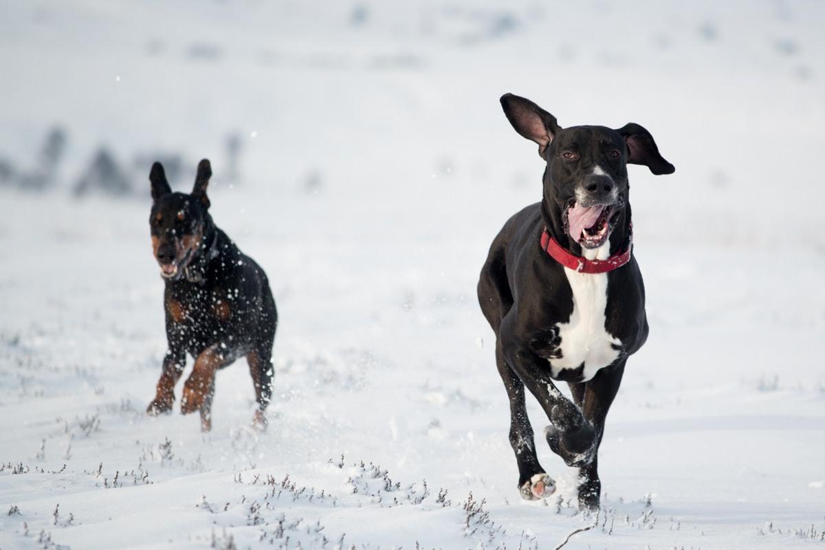 Great dane care dogs running great dane dog nvjuhfo Choice Image