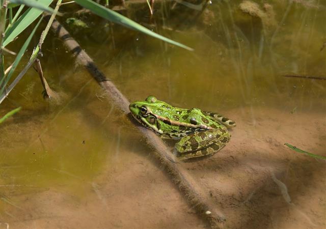 Balkan Frog