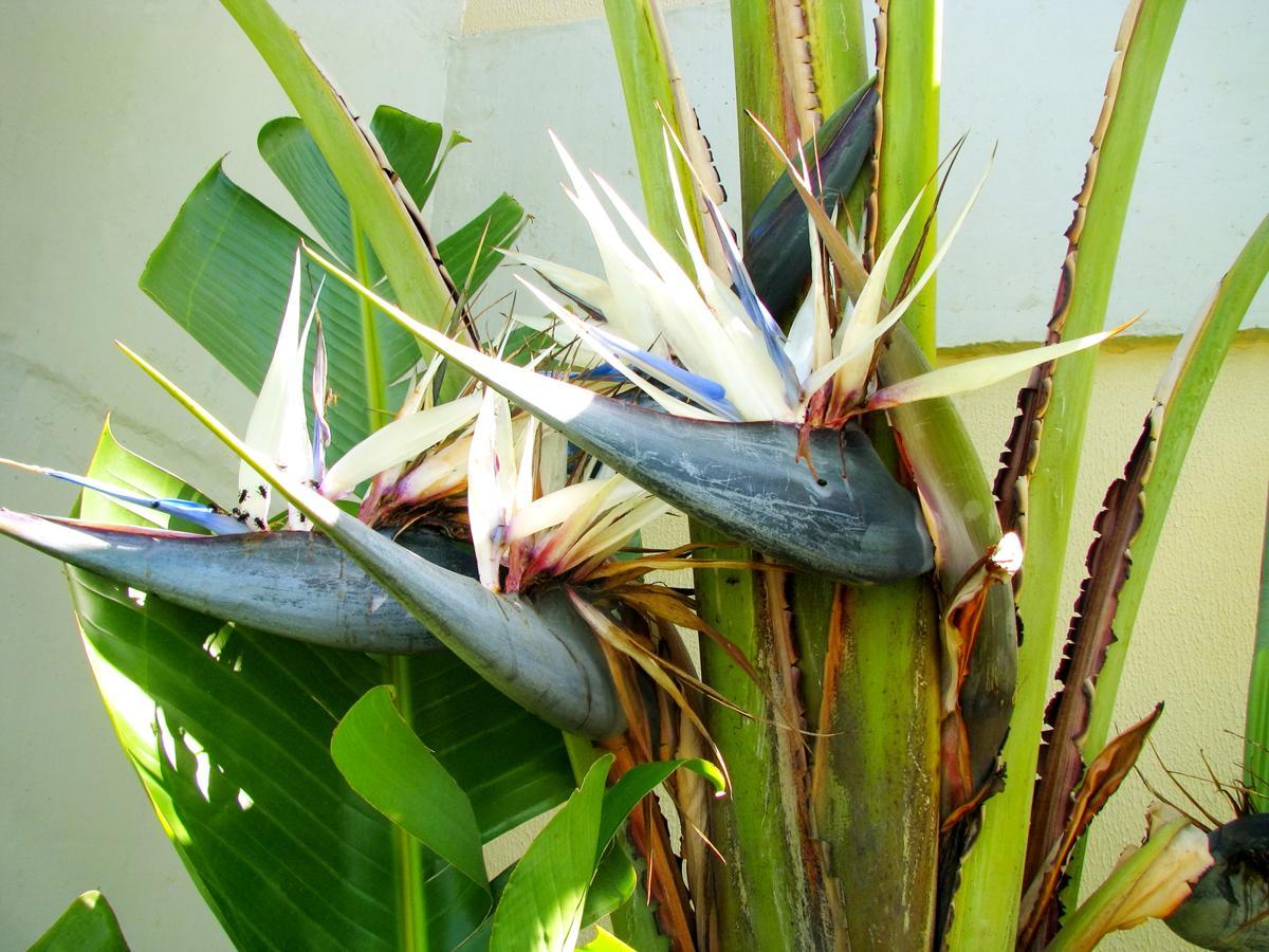 How to take excellent care of a white bird of paradise white strelitzia flower buycottarizona