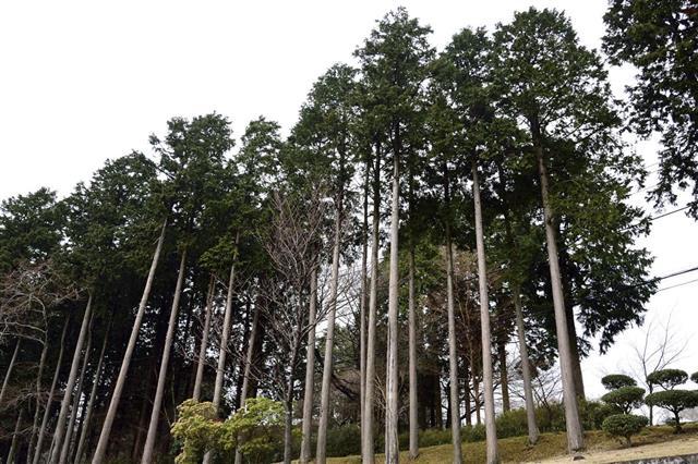 Japanese pine trees