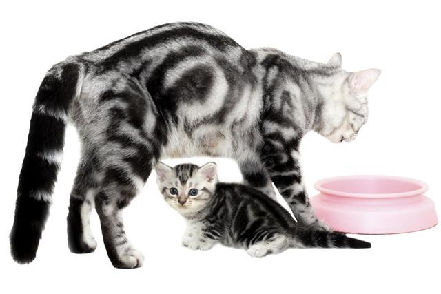 American shorthair cat family