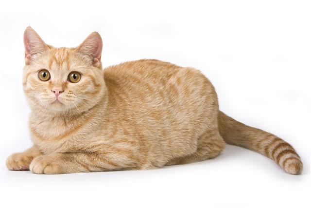 Striped red british cat