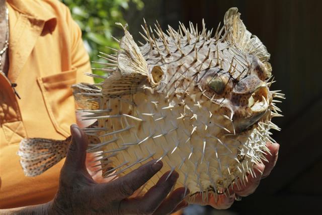 Prickly poisonous porcupine fish