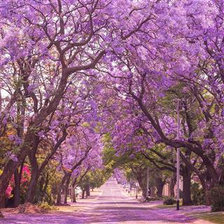 Street of beautiful violet vibrant jacaranda in bloom