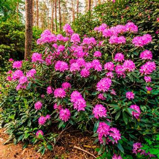 Blooming rhododendron garden