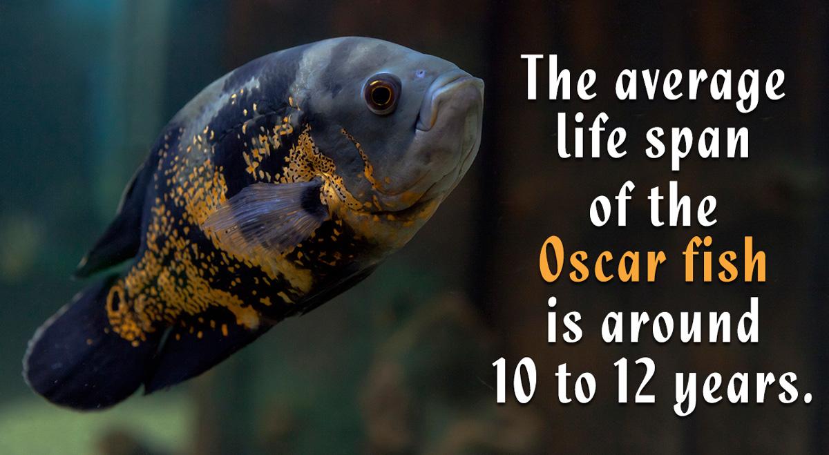 Oscar Fish Life Span