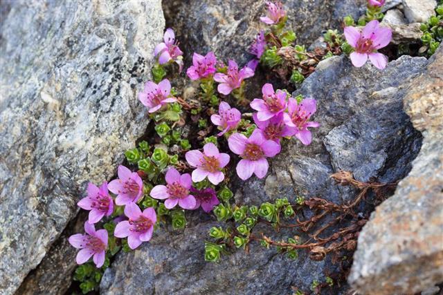 Alpine flower Saxifraga Oppositifolia, Aosta valley, Italy