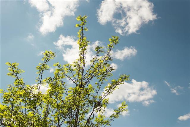 Leaf of acacia