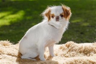 Japanese Chin Dog Portrait