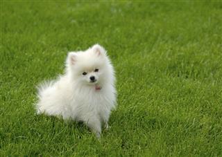 White Pomeranian Puppy on Lawn