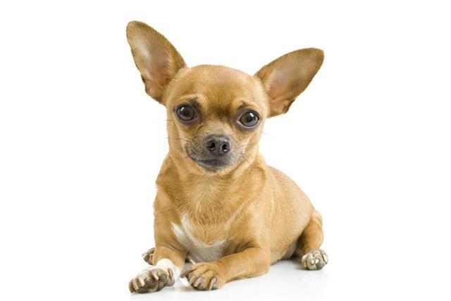 chihuahua???dog