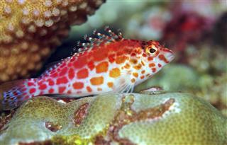 Cirrhitichthys oxycephalus Coral hawkfish