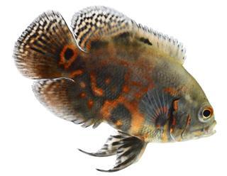Carnivorous oscar fish