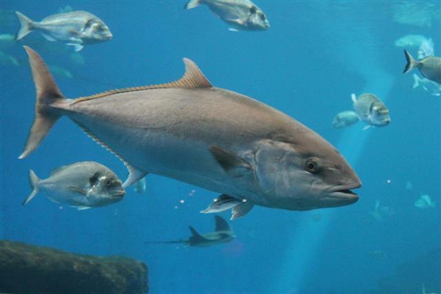 Underwater bluefin tuna Thunnus thynnus