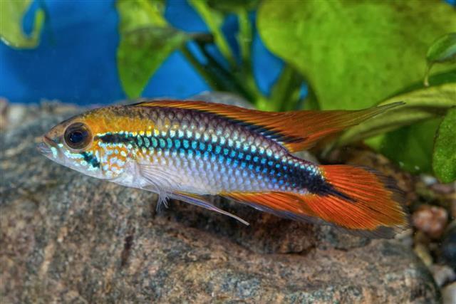 Apistogramma agassizii in a aquarium