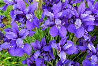 Summer Iris Flowers