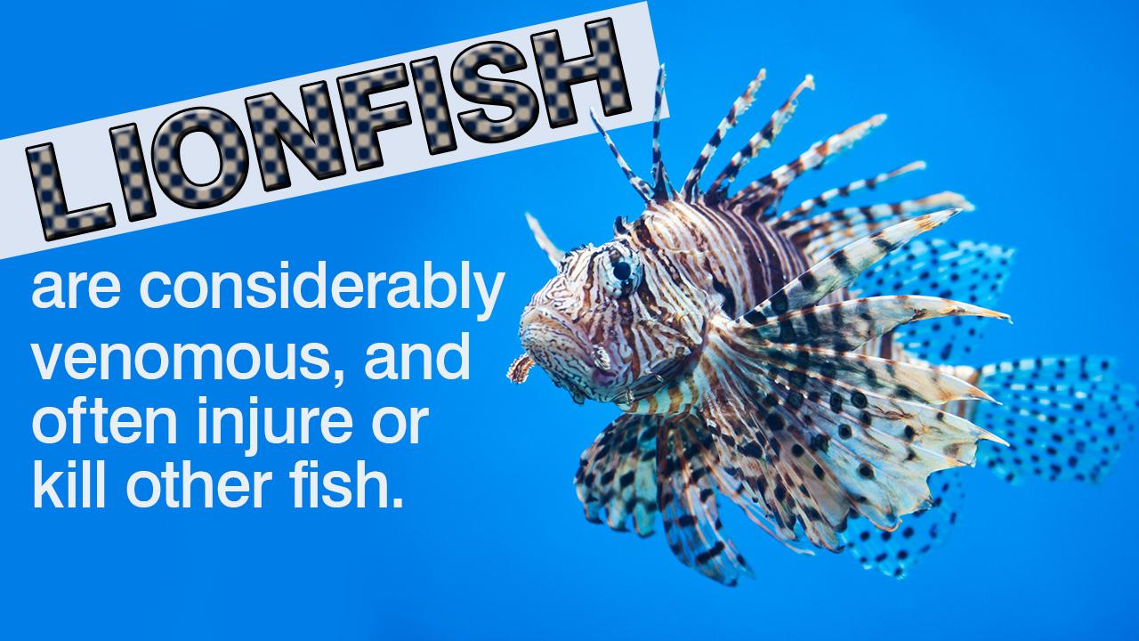 Lionfish Care