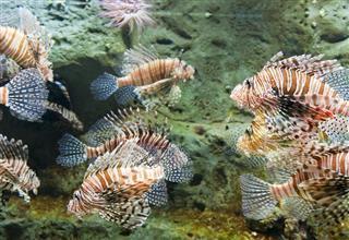 Lion fish In tank