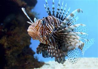 Turkey fish